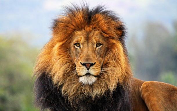 Доклад по английскому про льва 984