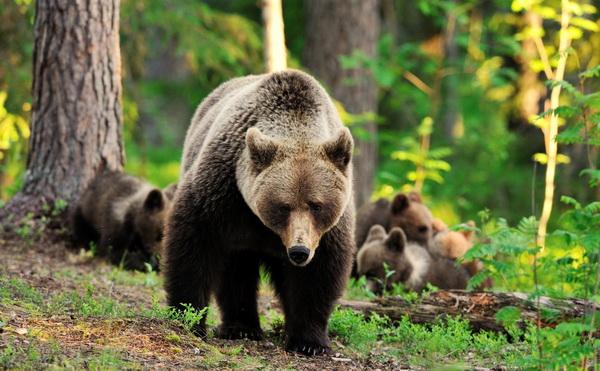 рассказ о медведе на английском языке с переводом