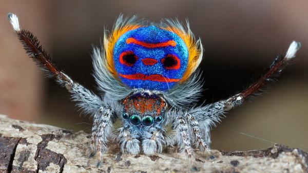 паук-павлин