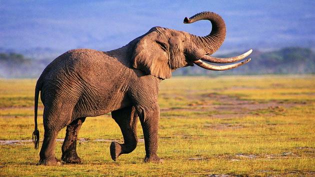 слон в поле